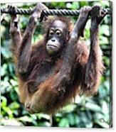 Juvenile Orangutan Borneo Acrylic Print