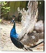 Juvenile Peacock Acrylic Print