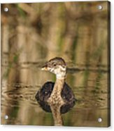 Juvenile Pied-billed Grebe Acrylic Print