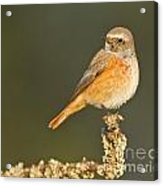 Juvenile Redstart Phoenicurus Phoenicurus Acrylic Print