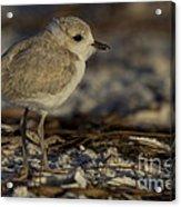 Juvenile Snowy Plover Photo Acrylic Print