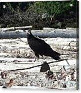 Juvenile Turkey Vulture Acrylic Print