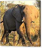 Kalahari Elephant Acrylic Print
