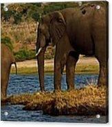 Kalahari Elephants Preparing To Cross Chobe River Acrylic Print