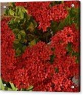 Kalanchoe Flowers Acrylic Print