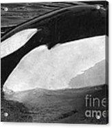 Kandu Orca Seattle Aquarium 1969 Pat Hathaway Photo Killer Whale Seattle Acrylic Print