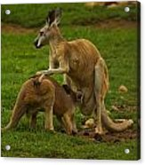 Kangaroo Nursing Its Joey Acrylic Print