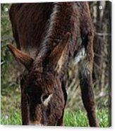 Kansas Country Mule Acrylic Print