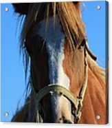 Kansas Horse Potrait Red And White Acrylic Print by Robert D  Brozek