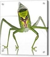 Katydid Suriname Acrylic Print
