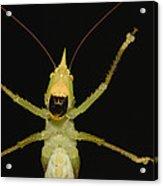 Katydid Underside Ecuador Acrylic Print