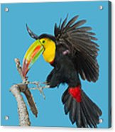 Keel-billed Toucan About To Land Acrylic Print