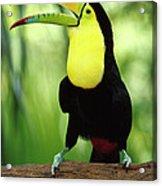 Keel-billed Toucan  Acrylic Print