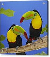 Keel-billed Toucan Pair Acrylic Print