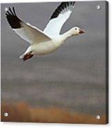 keep flying Goose Acrylic Print