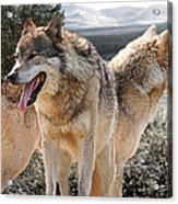 Keeping Watch - Pair Of Wolves Acrylic Print