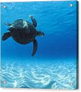 Keiki Turtle Acrylic Print