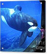 Keiko The Killer Whale Oregon Coast Aquarium Pat Hathaway Photo  1996 Acrylic Print
