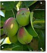Kelowna Apples I Acrylic Print