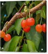 Kelowna Cherries Acrylic Print