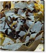 Kelp (ecklonia Radiata) Acrylic Print