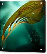 Kelp Forest Acrylic Print