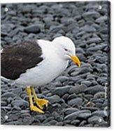 Kelp Gull Acrylic Print