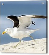 Kelp Gull Taking Off Acrylic Print