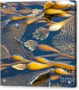 Kelp Haida Gwaii British Columbia Acrylic Print