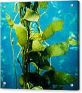 Kelp Two Acrylic Print