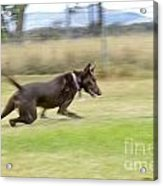 Kelpie Chasing A Ball Acrylic Print by Christopher Edmunds