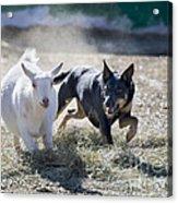 Kelpie Dog Acrylic Print