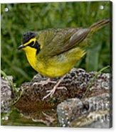Kentucky Warbler Acrylic Print