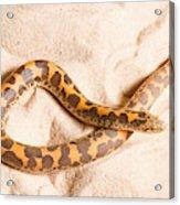 Kenyan Sand Boa Eryx Colubrinus Acrylic Print