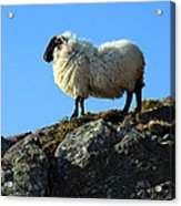 Kerry Hill Sheep Acrylic Print