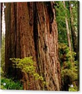 Kevin And The Big Tree - Redwood National Forest Acrylic Print