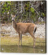 Key Deer Portrait Acrylic Print