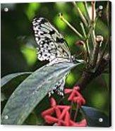 Key West Butterfly Conservatory - Idea Leuconoe Acrylic Print