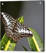 Key West Butterfly Conservatory - In Brown And White Acrylic Print