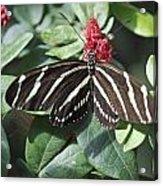Key West Butterfly Conservatory - Zebra Heliconian Acrylic Print
