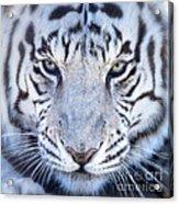 Khan The White Bengal Tiger Acrylic Print