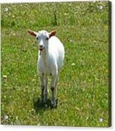 Kid Goat Acrylic Print