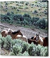Kiger Mustangs At Mineral And Water Source Acrylic Print