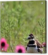Killdeer And Tennessee Coneflowers Acrylic Print