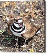 Killdeer Bird Acrylic Print