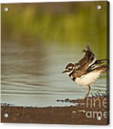 Killdeer Fluffing Up On The Shore  Acrylic Print