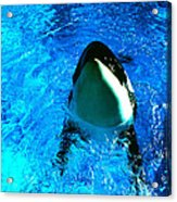 Killer Whale Greeting Acrylic Print