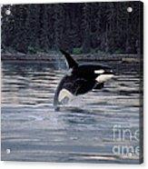 Killer Whale Orcinus Orca Breaching Acrylic Print
