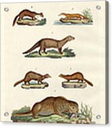 Kinds Of Otters And Marten Acrylic Print
