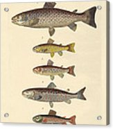 Kinds Of Trouts Acrylic Print